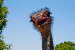 Ostritch head with its mouth open on a background of sky.